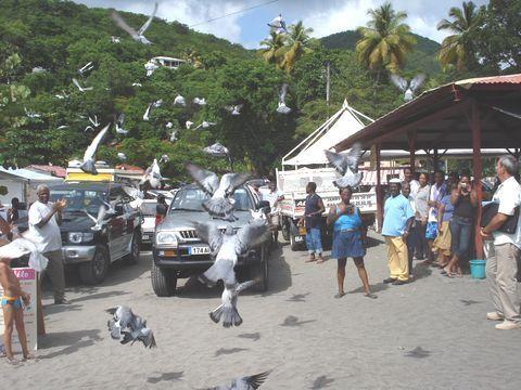 Photo Pigeon Antilles