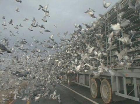 Des milliers de pigeons voyageurs lâchés pour une course en Europe
