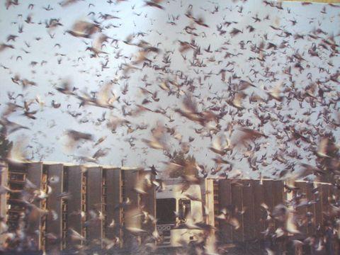 Un lâcher de plusieurs milliers de pigeons pour une course en métropole
