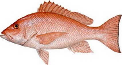 Le vivanneau, poisson culte en Guadeloupe, photo Kscades