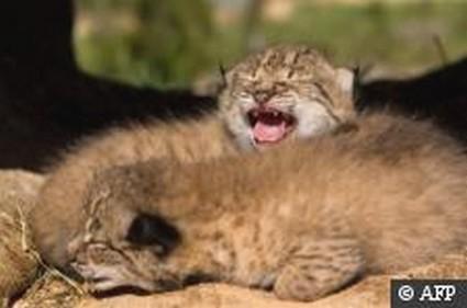 Le Portugal réintroduit le lynx ibérique avec l'aide de l'Espagne