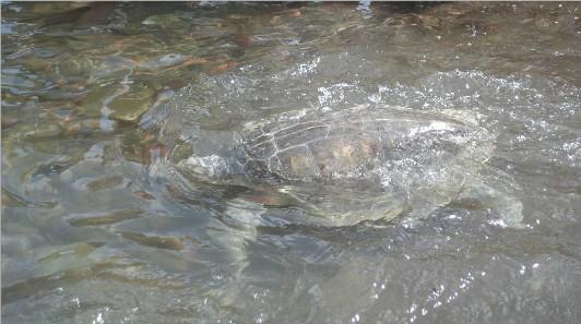 Liberté tortue bouillante