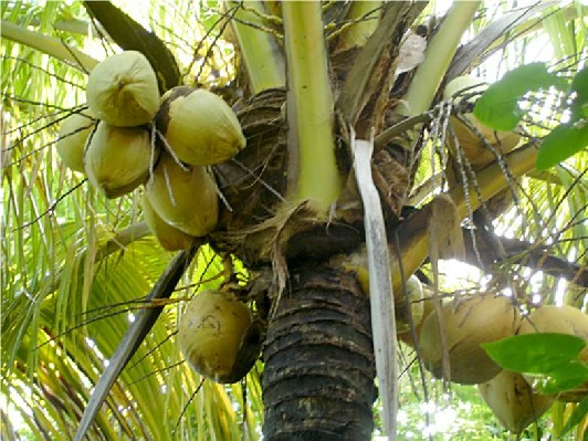 Guadeloupe cocotiers - Arbre noix de coco ...