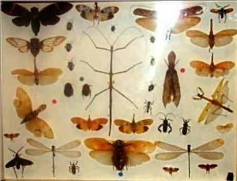 Sainte rose-Des insectes par centaines