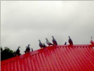 colombophile de la commune de Bouillante-posées sur le toit