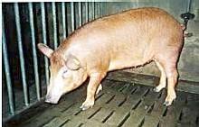 cochon créole