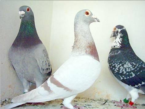 Les pigeons de courses de Hassan