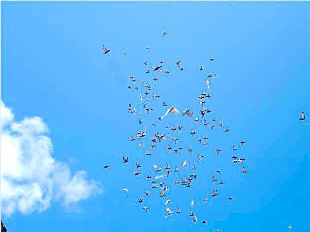 Les yeux au ciel pour admirer les pigeons