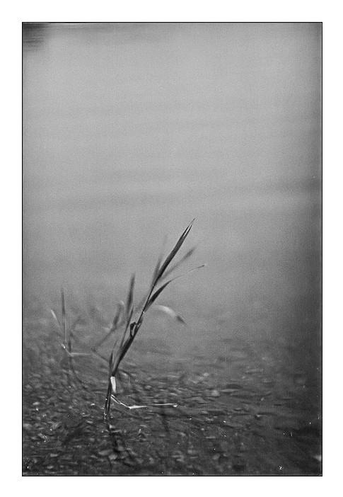 Une herbe dans la rivière