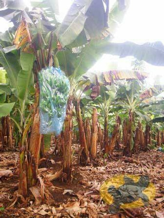 Un champ de bananes.