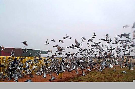 Lâcher de milliers de pigeons de courses à Pithiviers en métropole