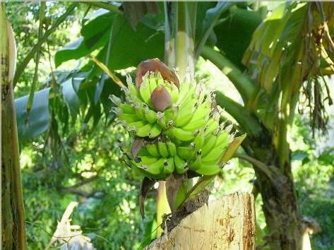 Un régime de bananes vertical.