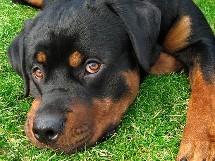 le rottweiler devient une arme