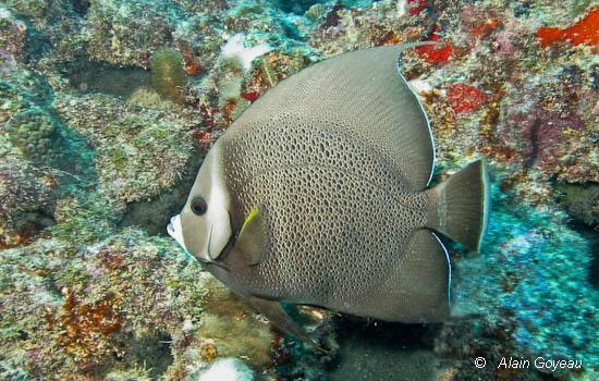 Le poisson Ange Gris (Pomacanthus arcuatus)