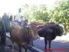En cas de besoin, nous retrouverons les boeufs de Guadeloupe. Photo Carribenguide