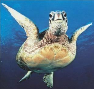 Tortue marine de Guadeloupe