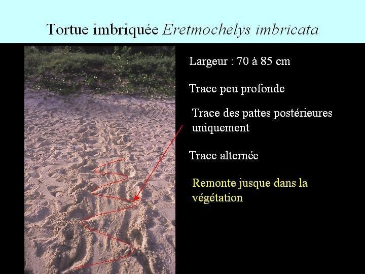 Sur les traces des tortues marines de Guadeloupe