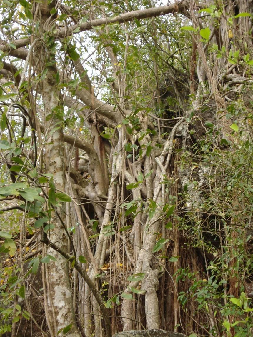 Le figuier maudit de la petite plage de MALENDURE, emprisonne un immense rocher d'une dizaine de mètres de hauteur. Photo Atout-Guadeloupe