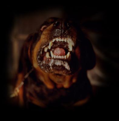 Rottweiler, pittbull et autres chiens dangereux pour une piqûre de rappel...