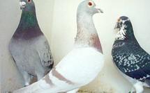 Développement de la colombophilie en Basse - Terre
