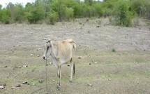 Maltraitance des animaux en Guadeloupe : Mort en direct d'un bovidé