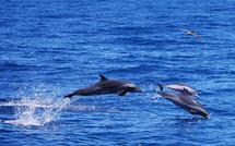Observation des cétacés en Guadeloupe au départ de Bouillante