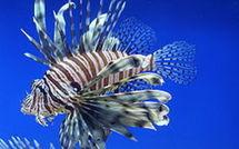 Le poisson lion dans les eaux de l'archipel de Guadeloupe