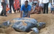 La Guadeloupe terre d'asile pour les tortues et les iguanes