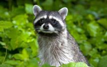 Racoon, le raton laveur devenu emblème de la Guadeloupe