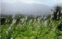 Sucre de canne et cannes à sucre de Guadeloupe