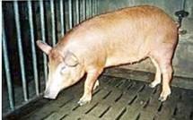 Les cochons de Noèl en Guadeloupe