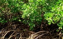 Mangrove Guadeloupe : un précieux écosystème à visiter ... et protéger !
