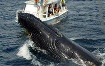 Cétacé guadeloupe, observation des baleines, dauphins et cachalots en Guadeloupe