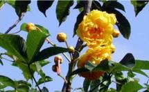 La rose du brésil, cochlospermum vitifolium