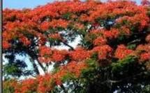 Flamboyants en Guadeloupe