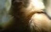 Le Parc des Mamelles sauve 4 nouveaux hôtes : une loutre, et 3 singes capucins