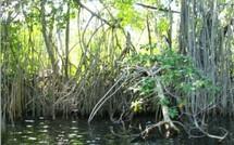 La mangrove se découvre, grâce aux travaux de jeunes ouvriers paysagistes!