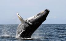 baleines guadeloupe