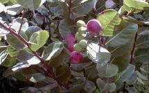 icaquier, arbre médicinal de Guadeloupe