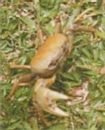 Guadeloupe-crabes