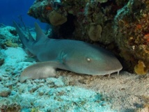 Requin nourrice Guadeloupe