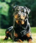rottweiler stable